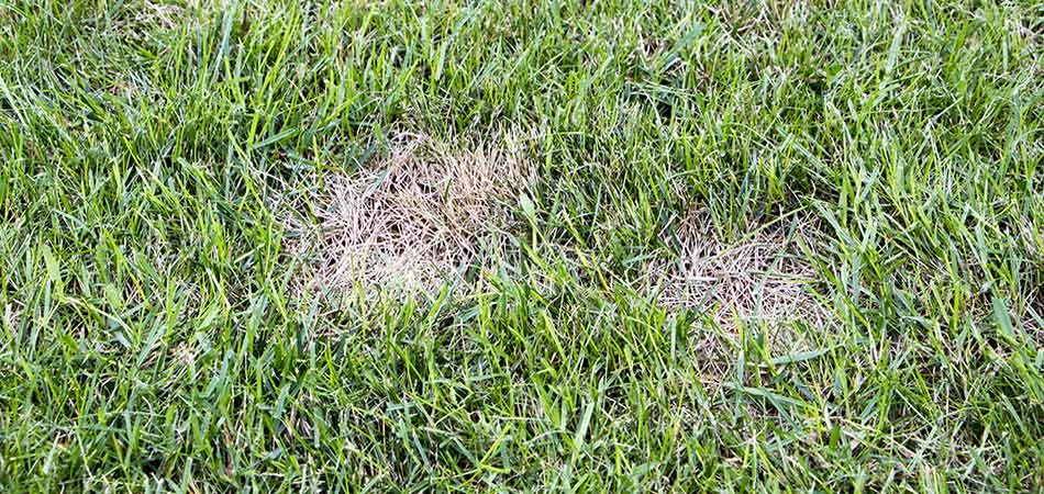 Troy residential front lawn with signs of fungal lawn disease.
